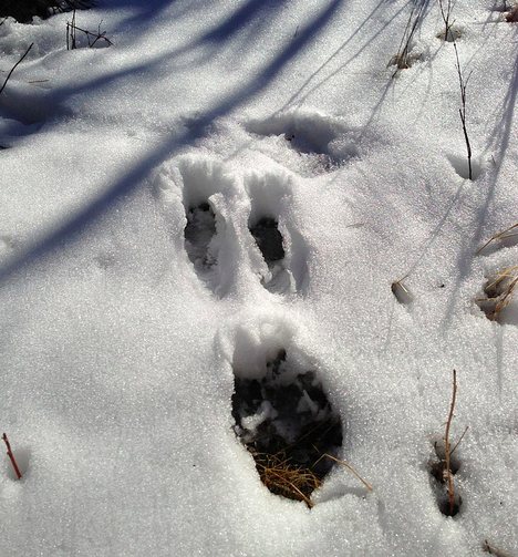 white tailed jack rabbit tracks calgary