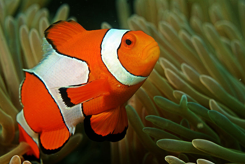 Clownfish Are The Best Fathers On The Planet - DadCAMP