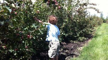 Charlie picking Saskatoon berries