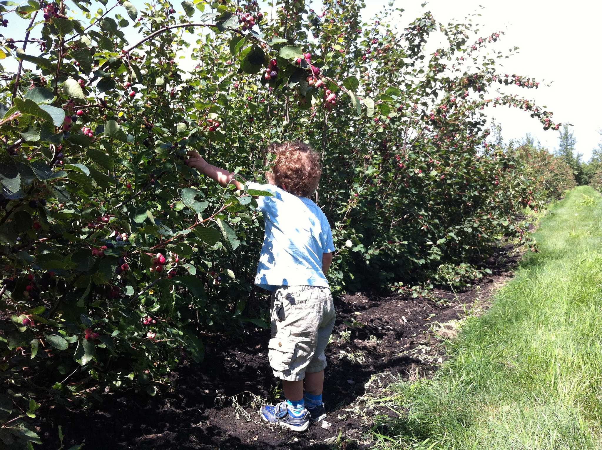 Charlie picking Saskatoon berries