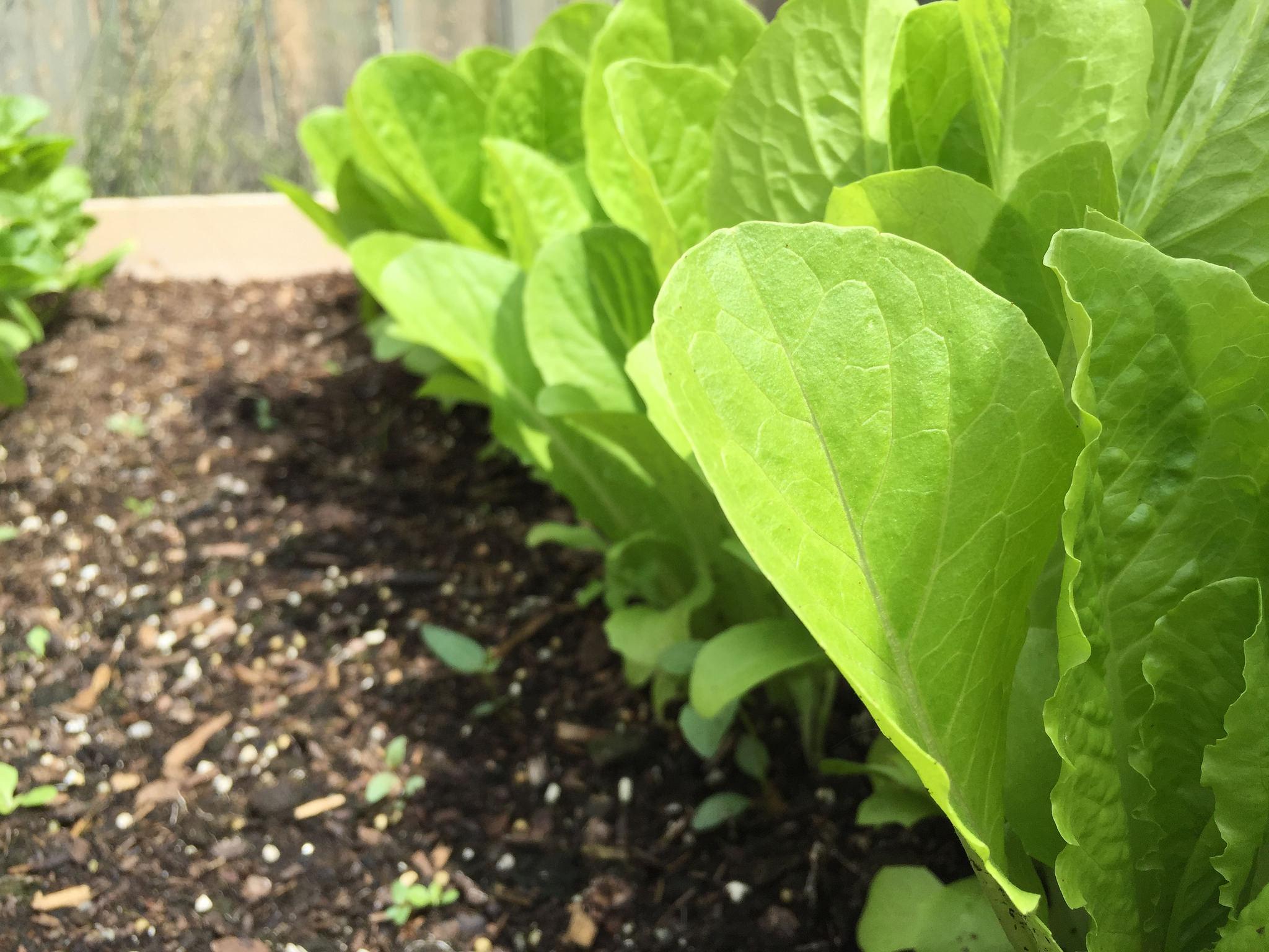 How To Pick Lettuce