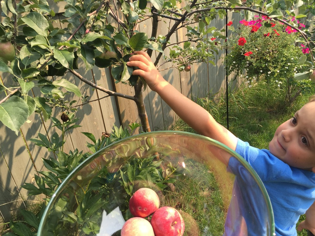 Charlie picking backyard apples
