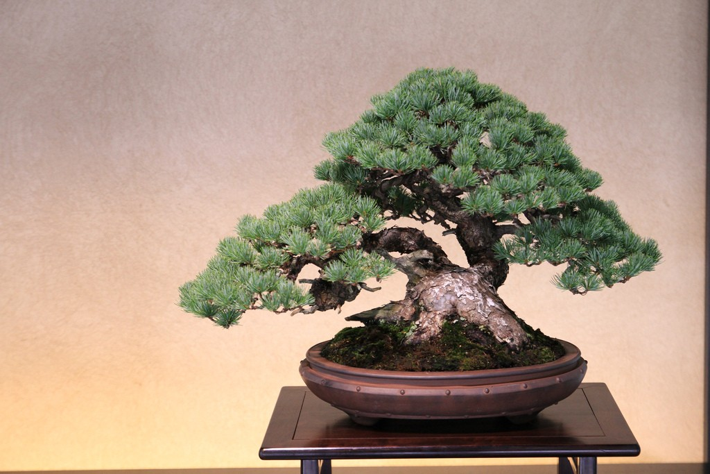 bonsai bush