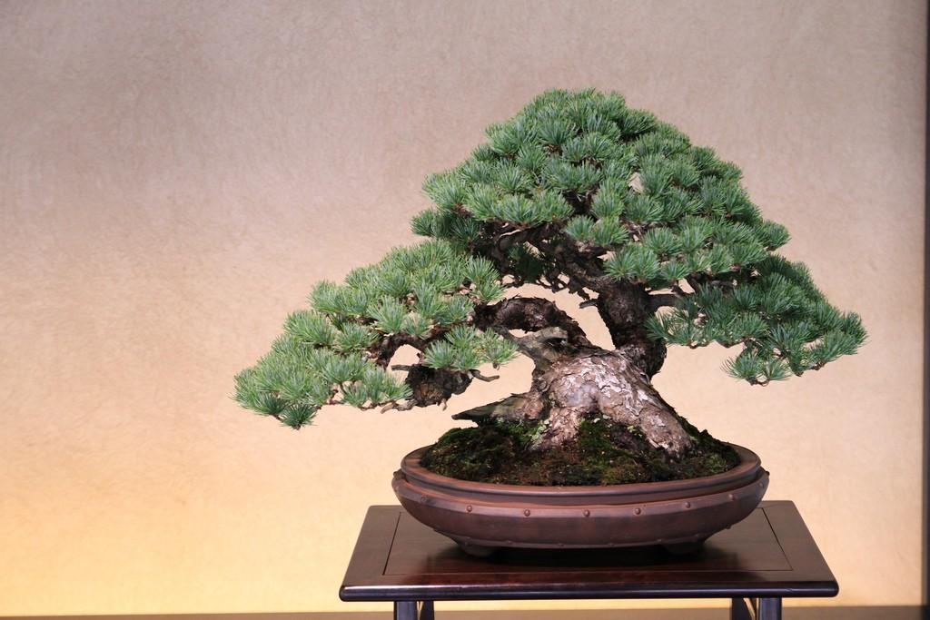 bonsai bush