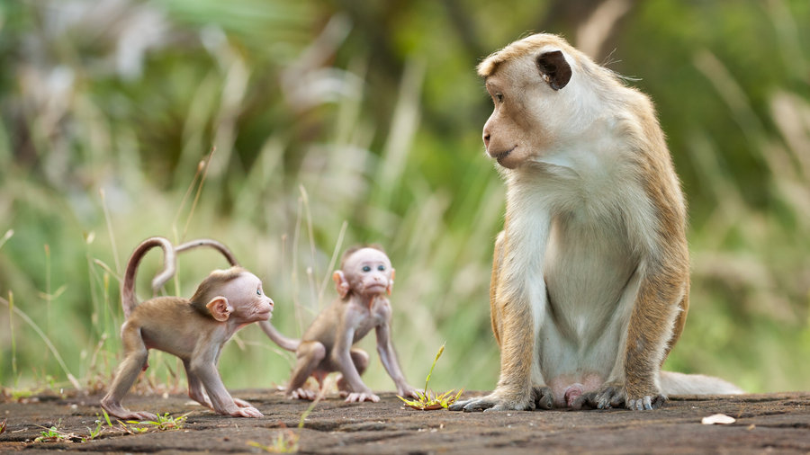 Kumar Disneynature's Monkey Kingdom
