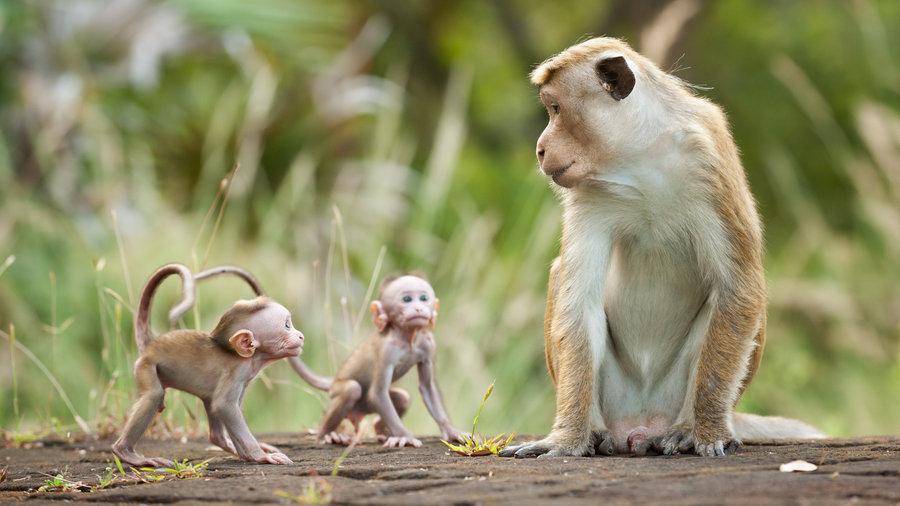 Kumar Disneynature's Monkey Kingdom