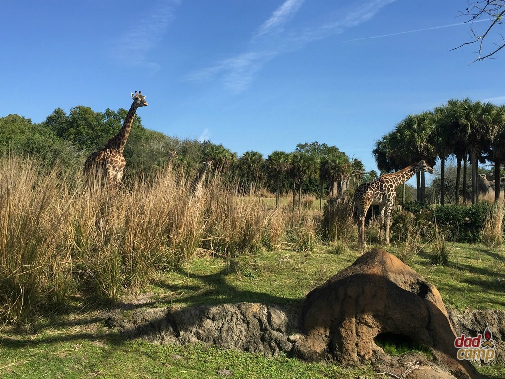 Giraffes at Disney's Animal Kingdom