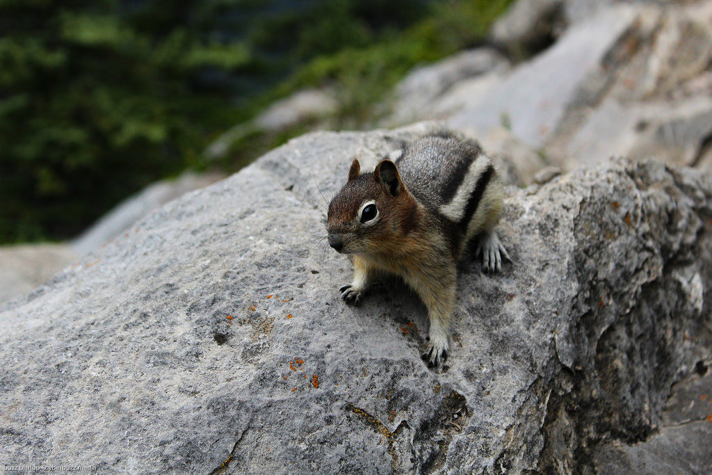 Squirrel on Tunnel Mountain